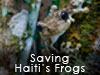 Saving Haiti's Frogs